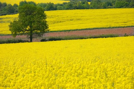 Looking over a rural landscape of golden yellow fields of rapeseed to a single tree