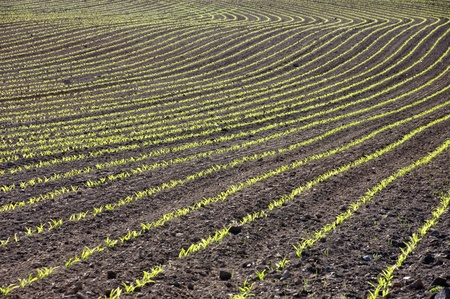 Curved rows of young spring corn growing in a ploughed field