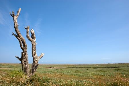 Dead tree on a coastal salt marsh with a pebble ridge beyond Stock Photo