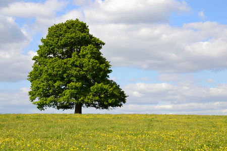 Single tree in full leaf under a cloudy blue sky standing in a field of buttercups