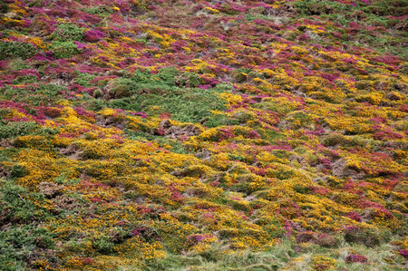 A close-up view of a field of purple and yellow heather Stock Photo