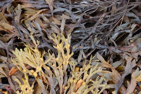 wrack: Bladder wrack, Fucus Vesiculosus and Serrated Wrack, Fucus Serratus seaweed found on a UK beach.