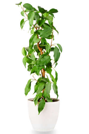 Green ficus tree in a white pot isolated on white background