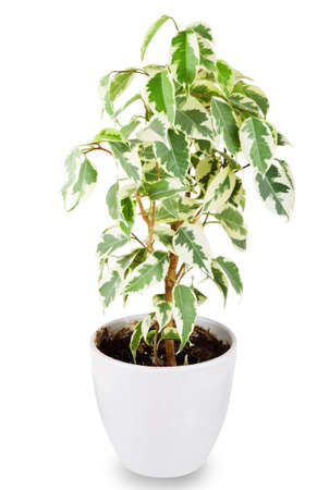 Green ficus tree in a white pot isolated on white background photo
