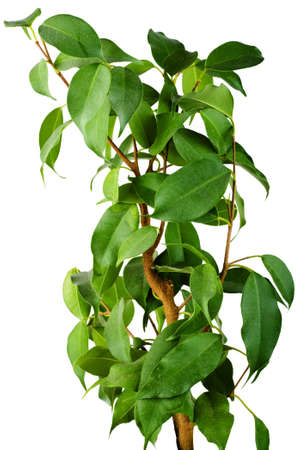 Green ficus tree isolated on white background