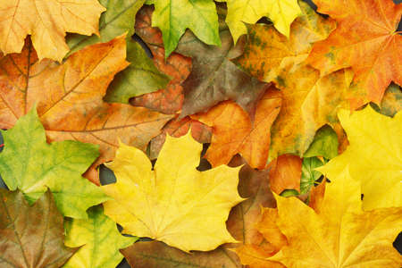 Colorful autumn maple leaves as background. Autumn mockup for your design.