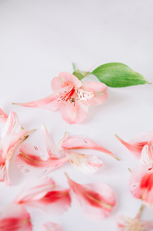 pink petals of fresh spring flowers isolated on completely white