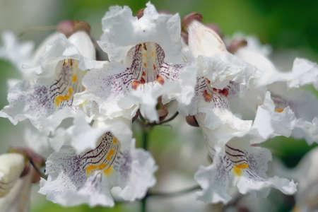catalpa: catalpa blossom