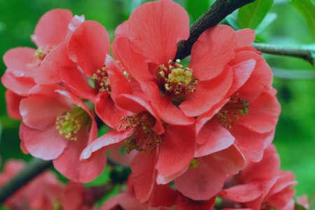 membrillo: Flor de membrillo