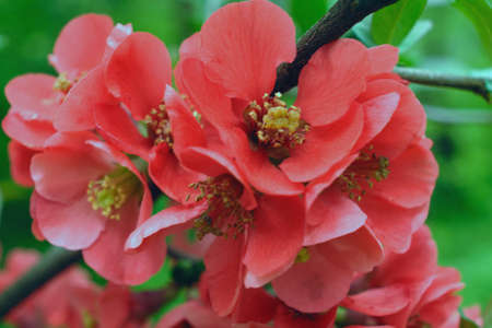 quince: Quince blossom