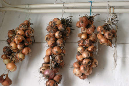sidelight: Four bunches of ripe, row, yellow onions hanging on the two white iron tubes. Diffused sidelight Stock Photo
