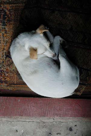 doorstep: Beautiful, cute but sad white dog lying near doorstep.