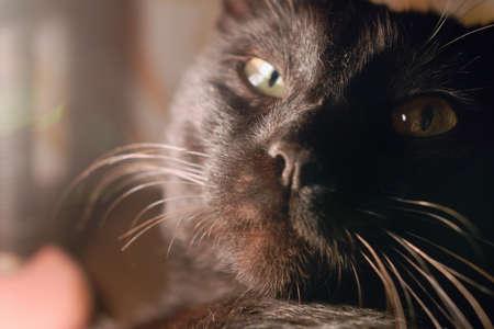 desconfianza: Rostro de adulto gato negro que mira directamente a Usted con convicci�n y desconfianza pero en el mismo tiempo con la obligaci�n de presentar los alimentos.