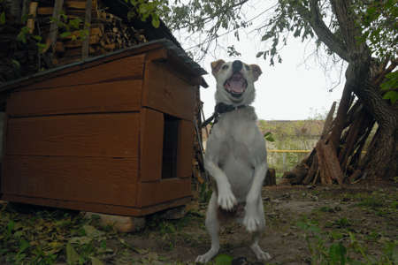 agression: White young dog are redy for strong jump protecting their own brown home that stay in the private yard from attackers.