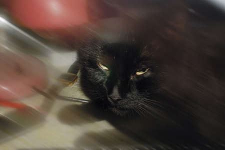 distrust: Photo of black mature domestic cat which looking directly at You with big distrust.