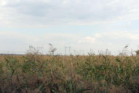 torres el�ctricas: Foto de pilones verdes de ca�a y de la electricidad en el fondo.
