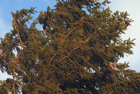 very windy: Pine tree with cones during very windy weather. Stock Photo