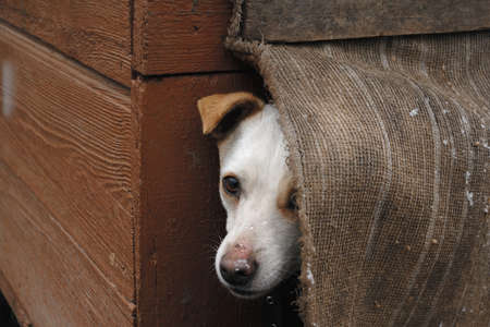 ojos tristes: Sad but cute white dog sitting in their own kennel and watching for falling snow. It dont want go outside. Foto de archivo