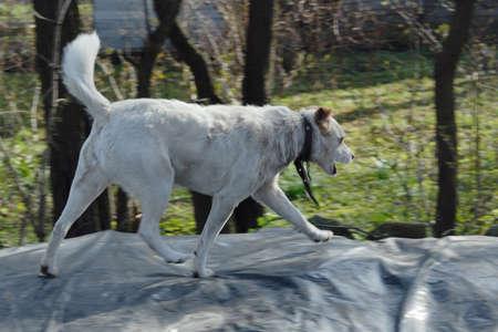 somewhere: White dog walking fast somewhere. Nobody around.