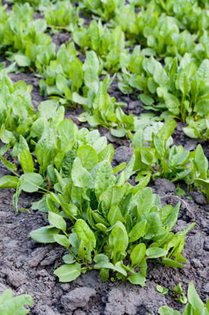 agronomical:  sorrel Stock Photo