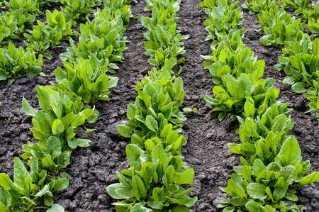 agronomical: garden sorrel
