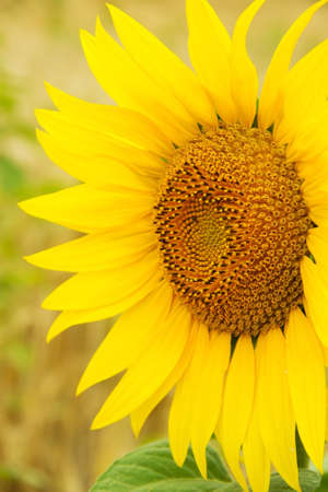 yellow sunflower in a field of one