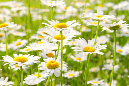 beautiful field of white daisies