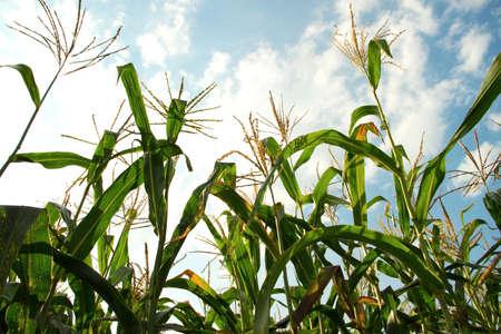 field corn in the sunlight 免版税图像