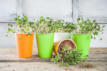Home plant, fresh herbs. Microgreen in little colorful paper cups. Zero waste, organic lifestyle concept. Vegetarianism and healthy eating concept. Stockfoto