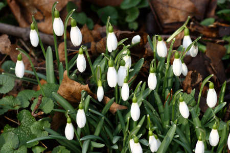 A bunch of  fresh snowdrops