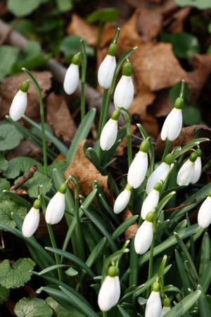 A bunch of fresh snowdrops Stock Photo