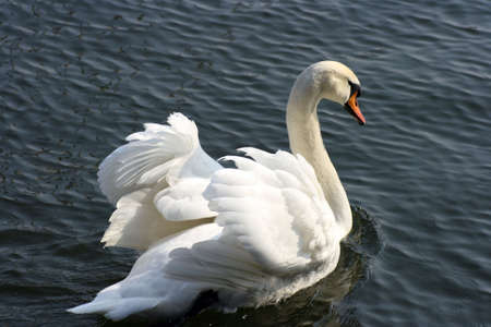 A white swan in attack position Stock Photo