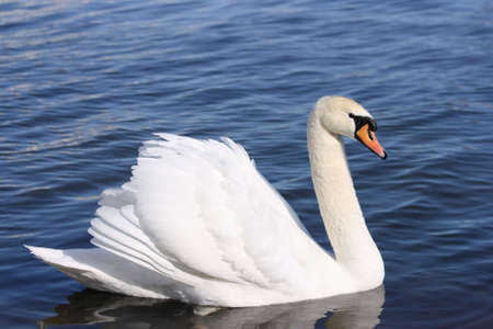 A white swan with attitude Stock Photo