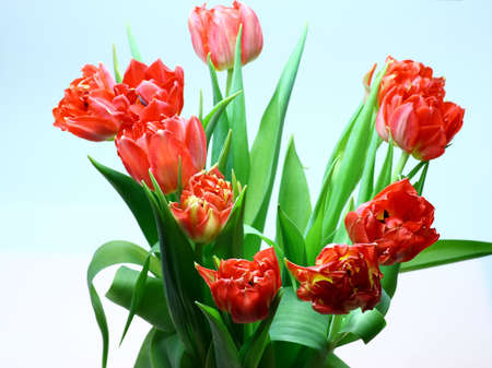 A closeup on red tulips Stock Photo