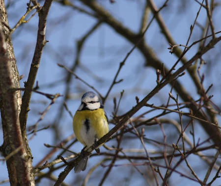 A bluetit enjoying in the sun