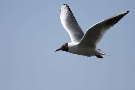 A Black-headed Gull in flying mode