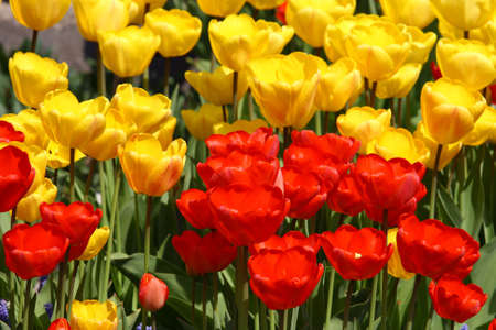 A close up on yellow and red tulips