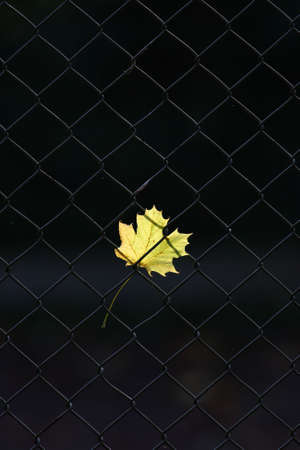 An autumn leaf on fence photo