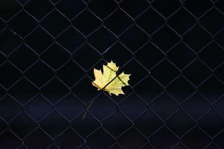 An autumn leaf on a fence photo