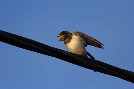 A young barn swallow waiting for food photo
