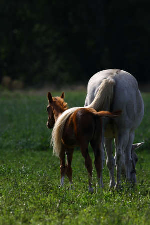 A protecting mother horse tail Stock Photo