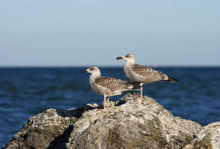 Two young herring gulls on a rock Stock Photo