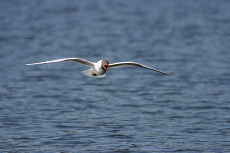 A Black-headed Gull in screaming mode