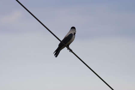A Hooded Crow on a wire