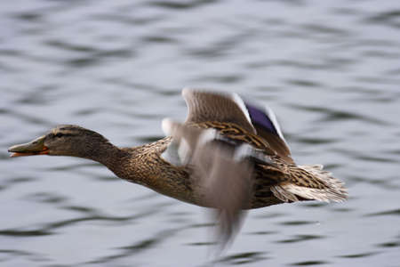 A close up on a flying Mallard Stock Photo