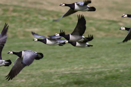 Barnacle Gooses flying close to the ground
