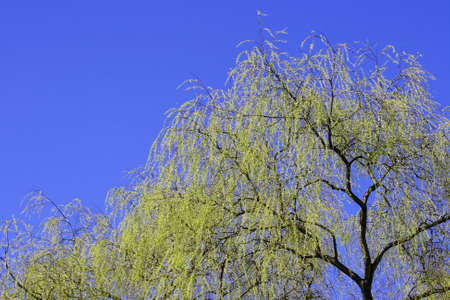 A willow tree in spring green color and a blue sky
