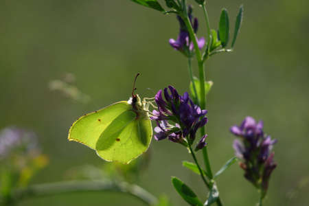 A Brimstone butterfly on a blue flower in afternoon sun photo