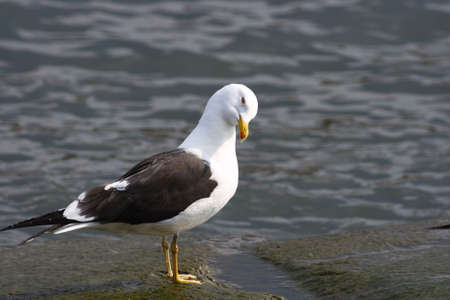 A Lesser Black-backed Gull at it´s best