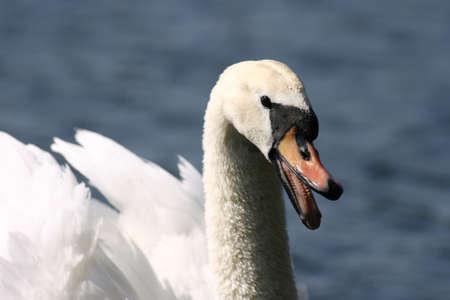 Detail studie of a Mute Swan